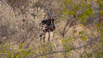 Sable oder auch Rappenantilope