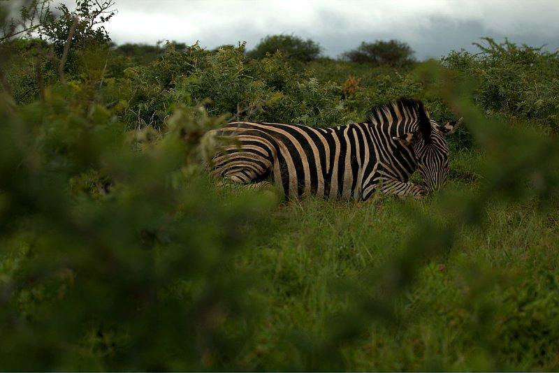 Zebras - Warum eigentlich nicht?