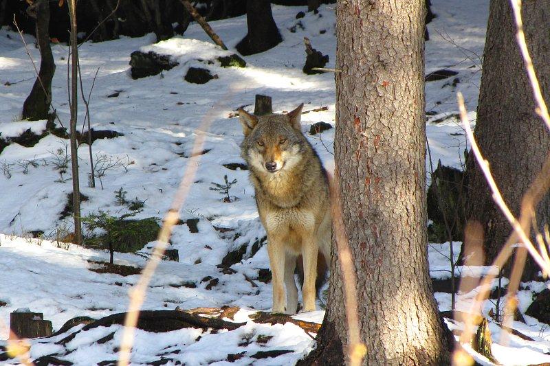 Tödlicher Wolfsangriff auf Jagdhund
