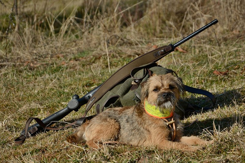 Der Border-Terrier - eine unterschätzte Rasse
