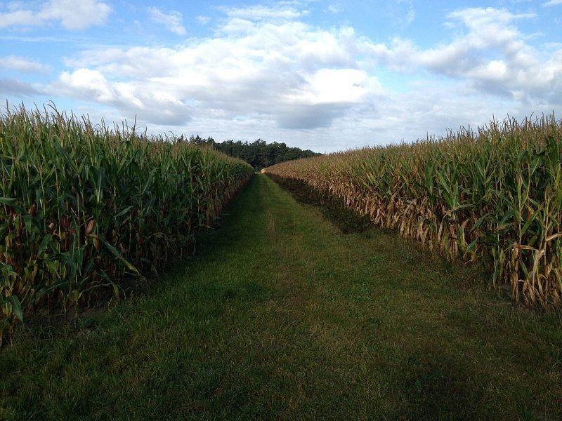 Schwarzwildjagd: Mais- und Erntejagd mit System