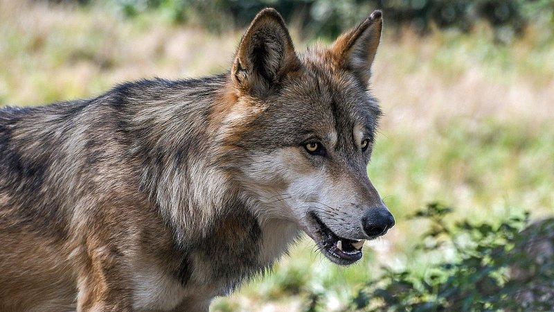 Jagdhundeeinsatz im Wolfsgebiet – der richtige respektvolle Umgang erspart Risiken