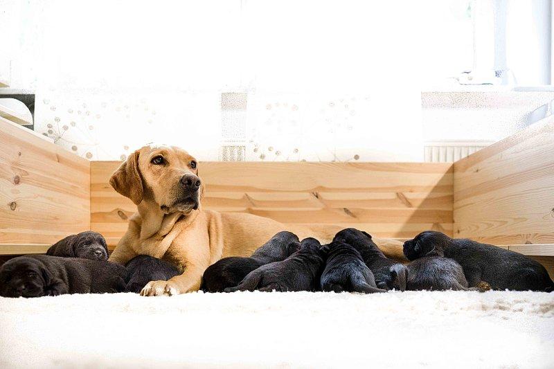 Jagdhundezucht - Die Hündin und die Geburt