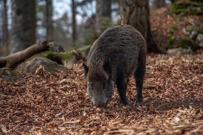 Wildrezept: Gefüllter Wildschweinrücken vom Grill